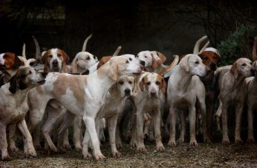 dog, herd, canine