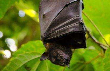 flying dog, batman, bat
