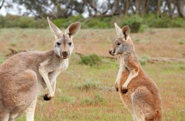 kangaroos, standing, looking